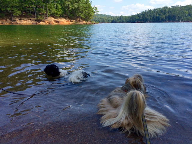 Small dogs swimming at Red Top Mountain Lake Altoona