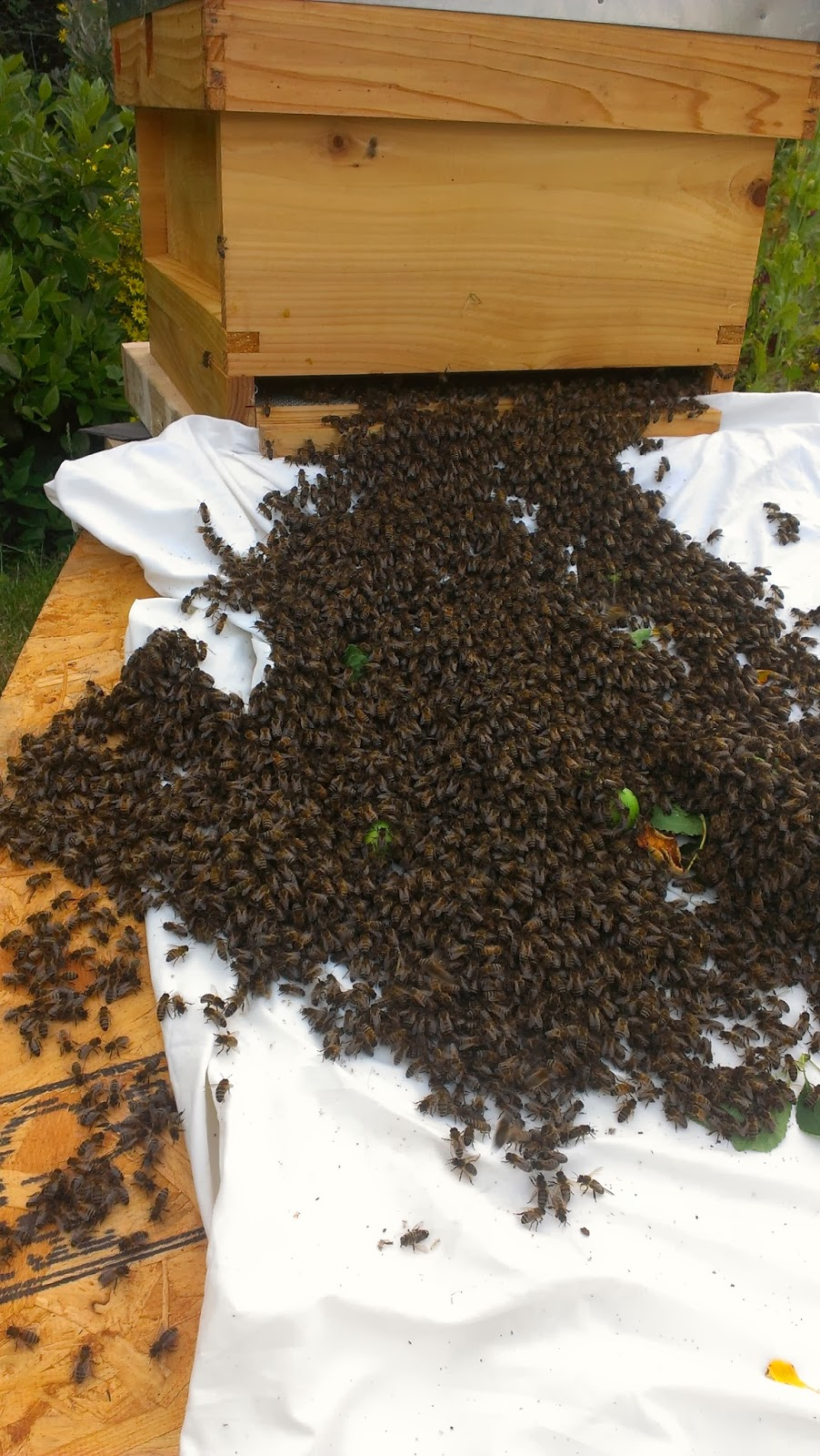 How can I catch a bee swarm?
