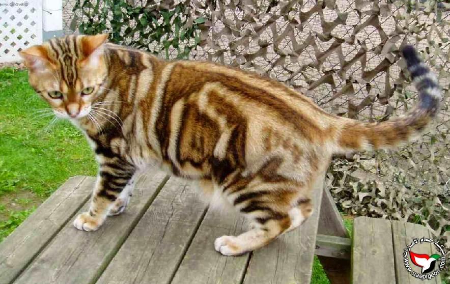 تعرف على القط الامريكي القصير الشعر ( American Shorthair )