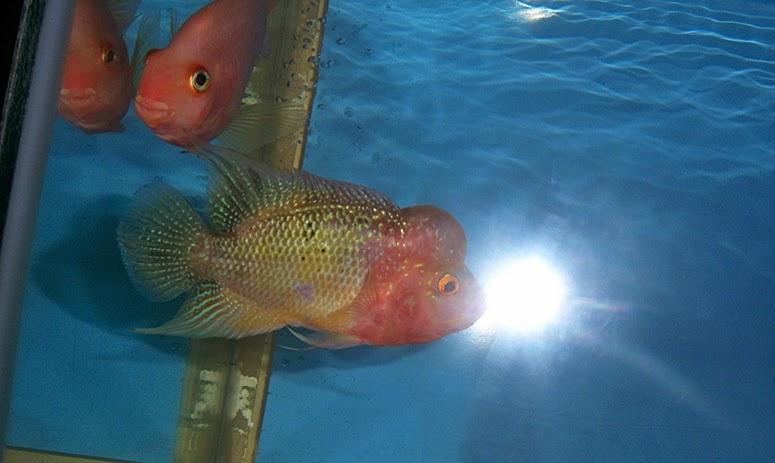 ikan lohan terbesar