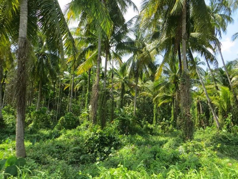 Густые пальмы Таиланд