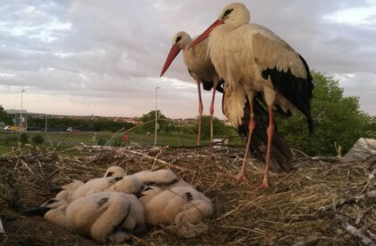 This Stork Travels 14,500km Each Year To See His Partner That Can't Fly