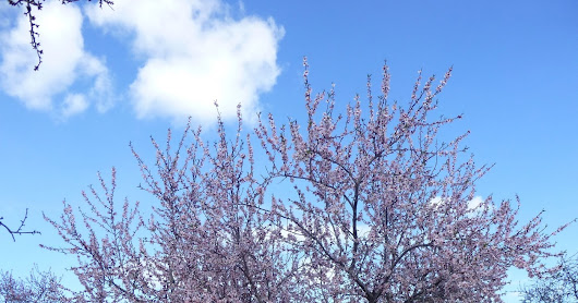 30 January 2017 – Almond Blossom Recce