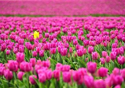Bunga Tulip Warna Ungu