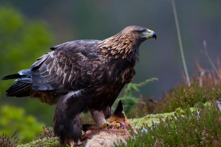 Golden Eagle Canon 1Dx avicii Willdlifephotography