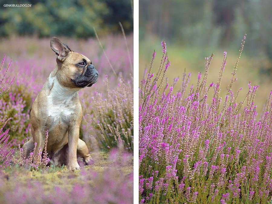 Hundeblog Genki Bulldog - Heidekrautfotos
