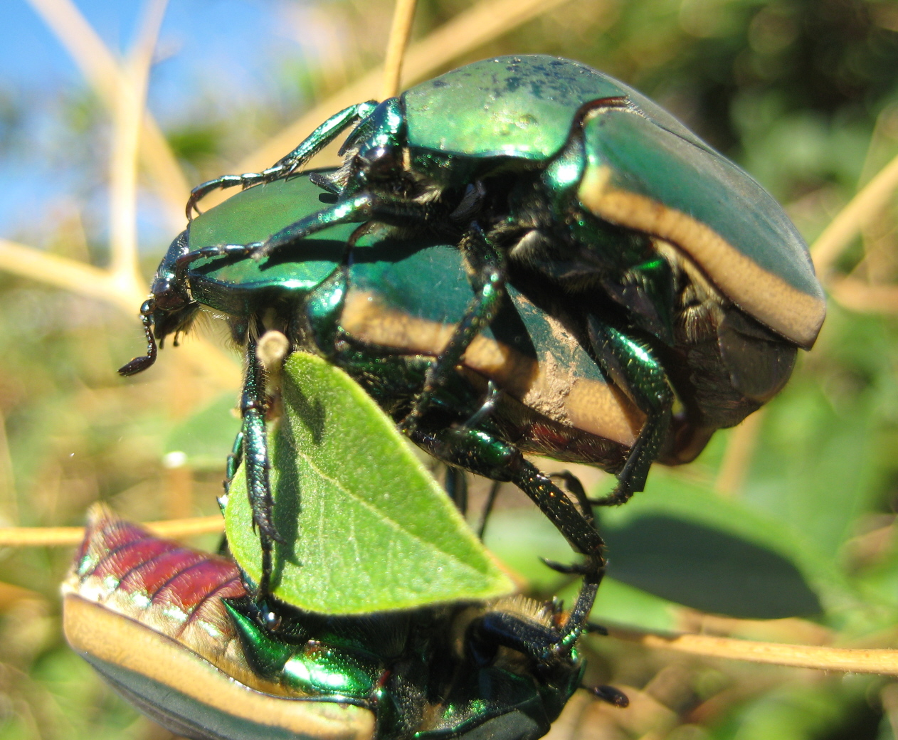 What I See: Figeater Beetles