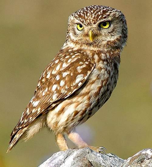 Indian birds - Picture of Little owl - Athene noctua