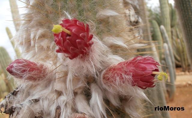 Flores de Cleistocacto Cleistocactus straussii