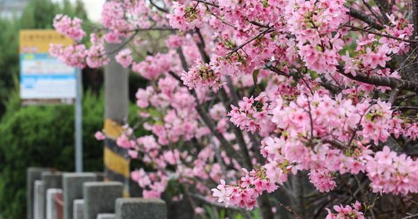 台中豐原|2018公老坪粉紅富士櫻盛開,豐原陽明山也有很多櫻花可以賞