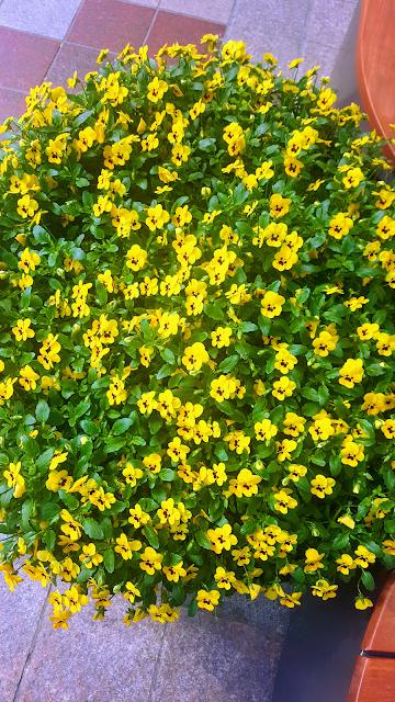 거리 화단 (노란색 꽃) : 롯데백화점 앞 의자 앞에 있는 원형 화단
