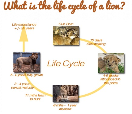 Life of a lion