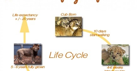 LION CHANNEL: What is the life cycle of a lion?