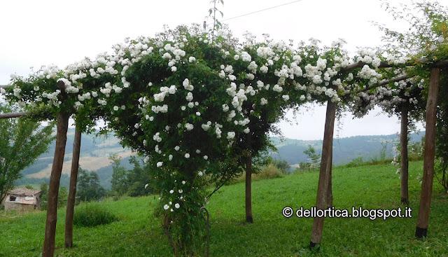 rosa del giardino visitabile della fattoria didattica dell ortica a Savigno Valsamoggia Bologna vicino Zocca nell Appennino