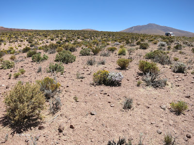Atacama flowers
