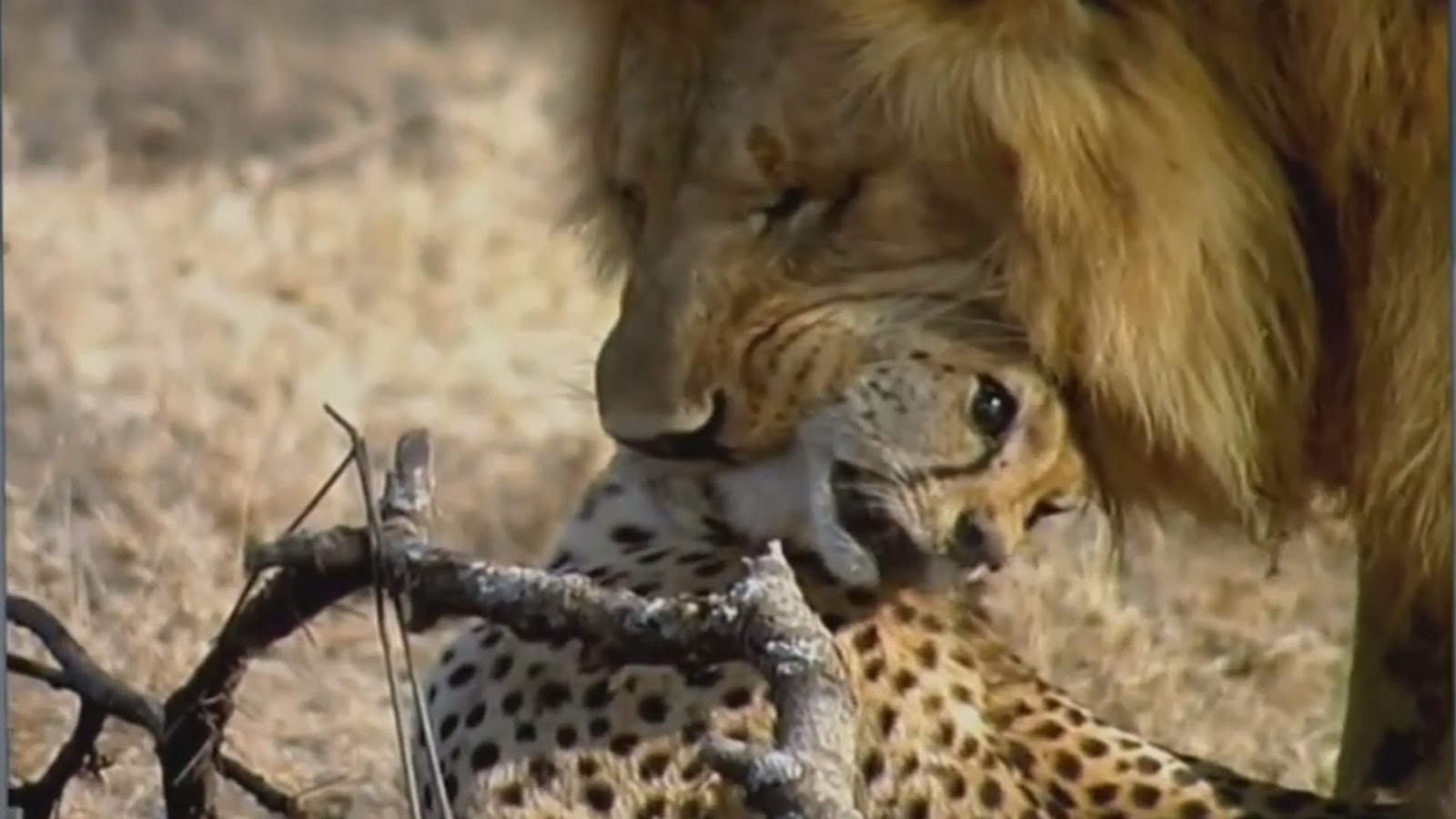 Do Big Cats Eat Other Cats Lepord Kills Cheetah