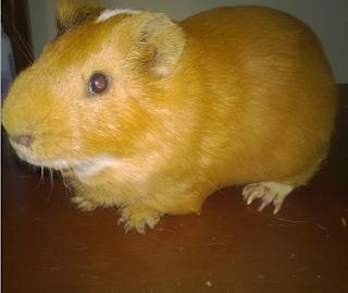cobayo marron, adulto de aproximadamente 3 años de edad