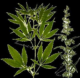 clasificación marihuana