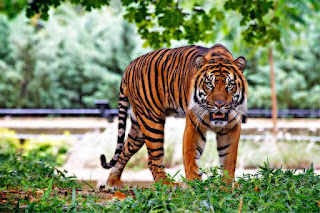 Kalian tahu hewan apa yang menjadi sosok raja hutan di nusantara ini Contoh Report Text about Tiger dan Terjemahannya
