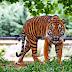 Contoh Report Text about Tiger dan Terjemahannya