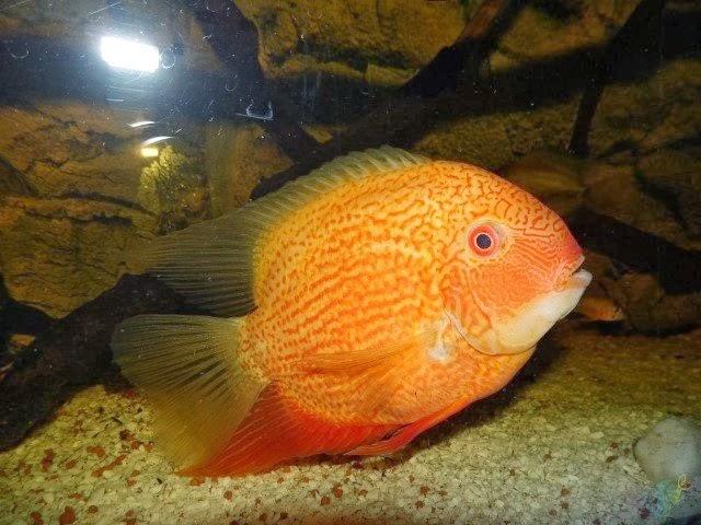 Akvaryum severum balık hakkında bilgi
