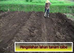 Penglohan lahan untuk penanaman cabe