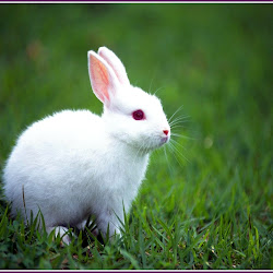 Kelinci Putih