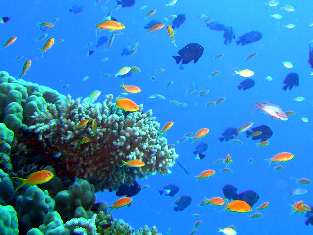 soldierfish, blue triggerfish, red sea, egypt