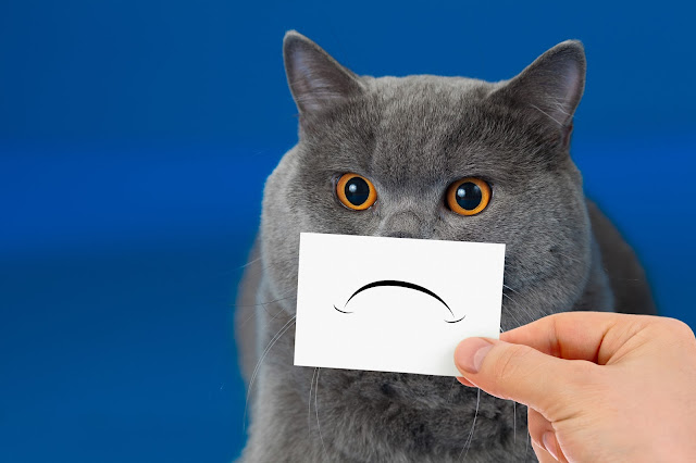 Gray cat with a sad face. Photo via Adobe Stock.