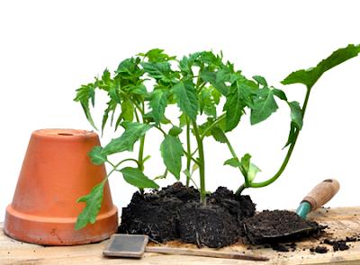 Memindahkan benih tanaman tomat dari media penyemaian ke dalam pot