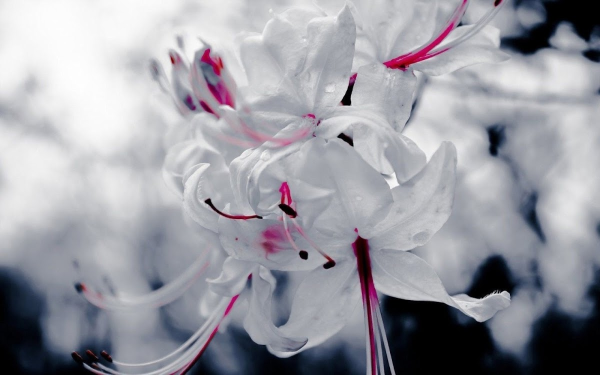 White Flowers Widescreen HD Wallpaper 5