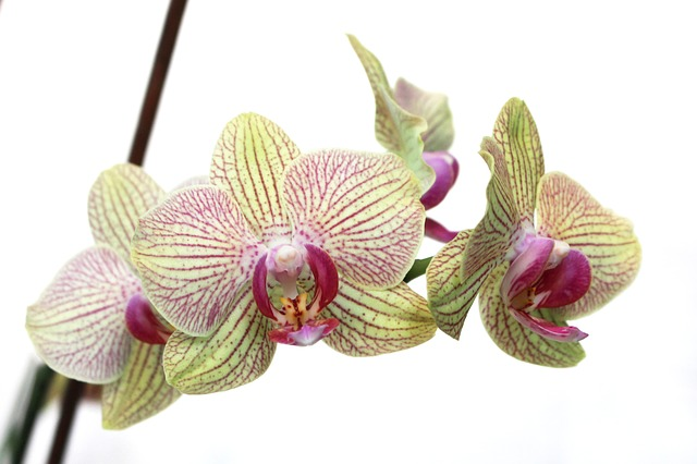 hoa lan hồ điệp đẹp