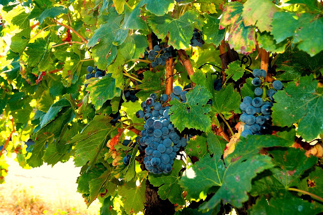 winorośl, resweratrol