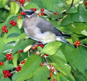 Burung Meningkatkan Berat Badan Sebelum Migrasi