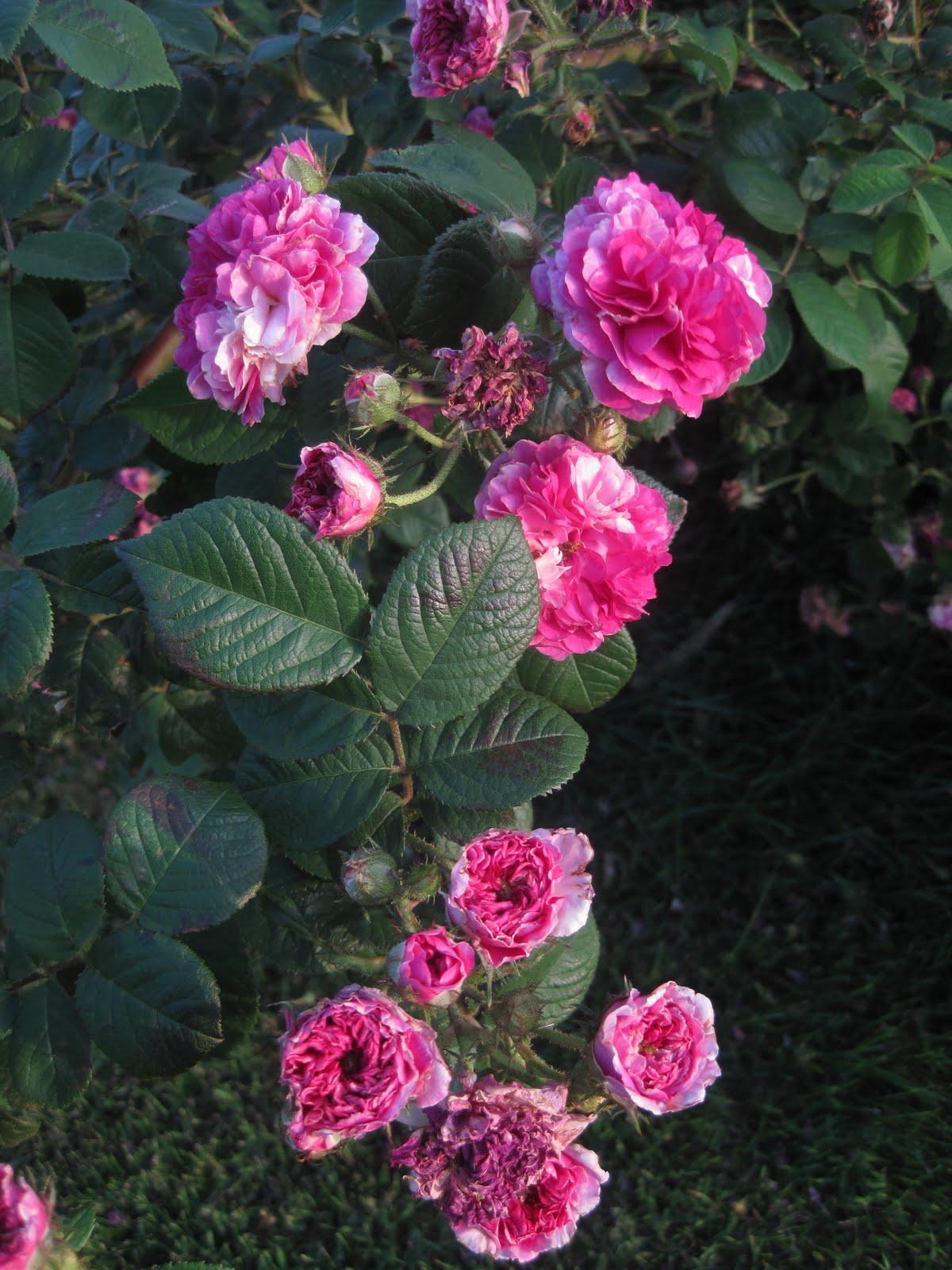 Shabby Pink World Antique Seven Sister S Rose Bush