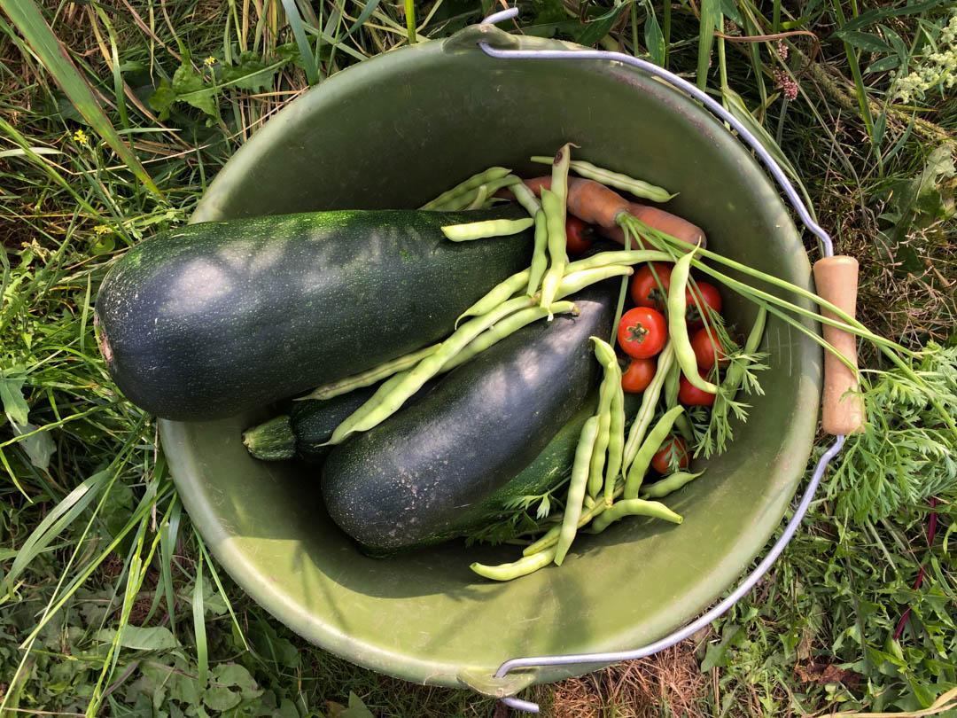 Ackermomente, Ernte, Zucchini, Bohnen, Möhren