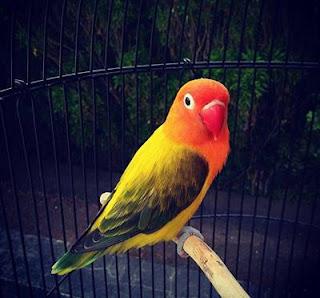 lovebird euwing