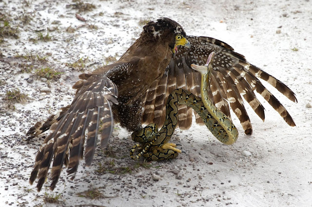 python caught  by eagle talons