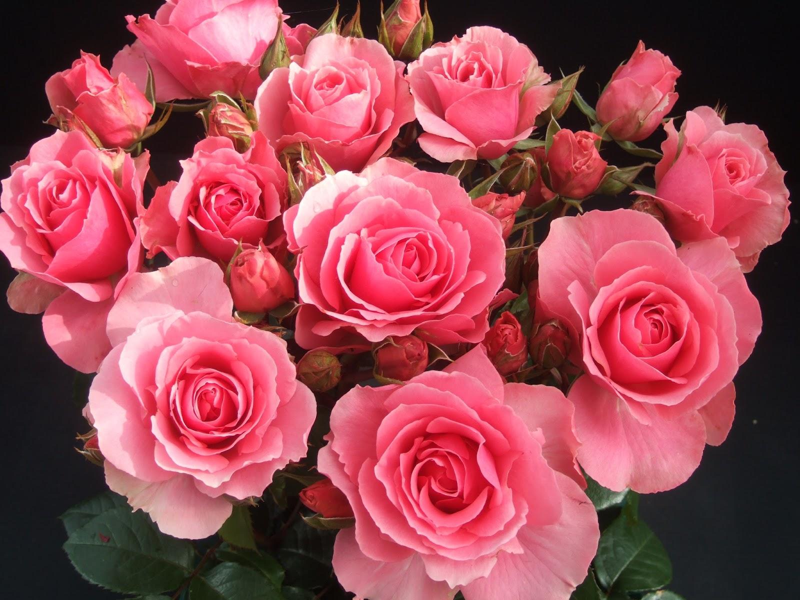 Thousands of Rose Cultivars