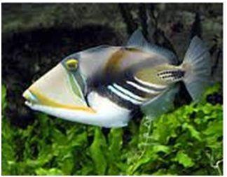 Ikan Laut Hias Aquarium Triggerfish