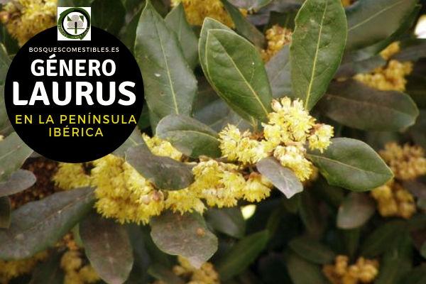 Lista de Especies del Género Laurus, Laurel, Familia Lauraceae en la Península Ibérica