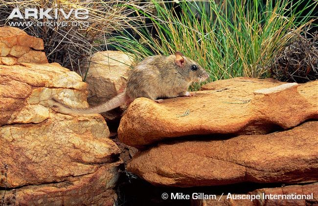 endangered rats Central rock Rat