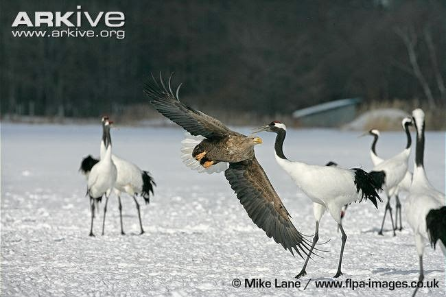 interactions between birds red crowned crane