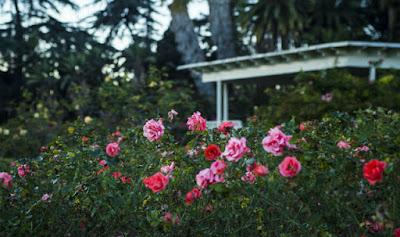 Taman Mungil Depan Rumah yang Dipenuhi Bunga Mawar