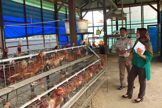 Tim Kementan Tinjau UPTD Pembibitan Ayam Mancani
