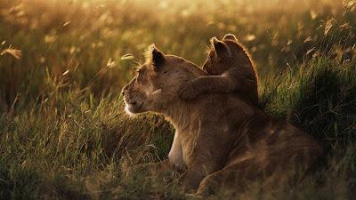 Leona con su cría contemplando la naturaleza