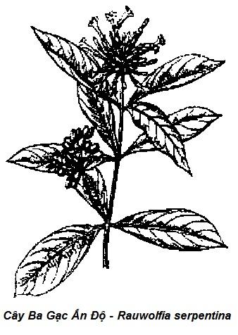 Hình vẽ Cây Ba Gạc Ấn Độ-Rauwolfia serpentina-Nguyên liệu làm thuốc Hạ Huyết Áp