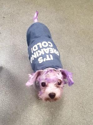 peligros de pintar a los perros malteses