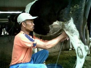 pemerahan susu sapi mengalir ke puting