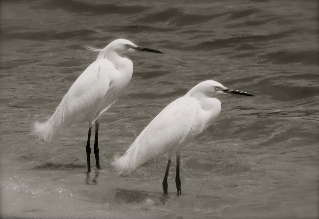 Snowy egrets in black-and-white